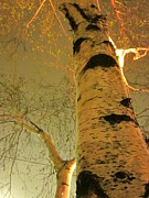 Guy Ricketts Photography Prints - White Birch Stood Still Print by Guy Ricketts