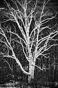Trevor Slauenwhite - White Birch Tree In...