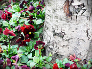 Garden Pyrography Originals - White birch tree trunk and pansies by Ioana Ciurariu