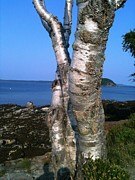 Maine Shore Originals - White Birches of Shore Path Bar Harbor by Lena Hatch