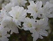 Blooms Art - White Blooming Azaleas by Cathy Lindsey