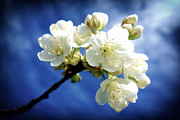 Apple Blossoms Prints - White blossom and deep blue sky Print by Matthias Hauser