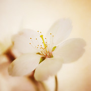HJBH Photography - White blossom