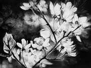 Blooming Drawings Metal Prints - White Blossom Metal Print by Natasha Denger