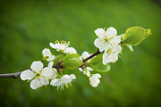 Apple Blossoms Prints - White blossoms and green grass - signs of spring Print by Matthias Hauser
