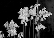 Marilyn Wilson - White Bluebells - bw