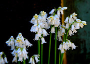 Marilyn Wilson - White Bluebells