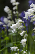 Steev Stamford Framed Prints - White bluebells Framed Print by Steev Stamford