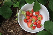 Garden - White Bowl With Strawberries by Lynn-Marie Gildersleeve