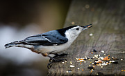 Anthony Morganti - White Breasted Nuthatch