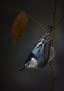 Ron Jones Framed Prints - White Breasted Nuthatch Framed Print by Ron Jones