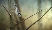 Buy Photos Online  Prints - White Breasted Nuthatch Print by Steven  Michael