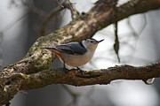 Wanda Jesfield - White Breasted Nuthatch