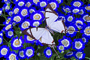 Garry Gay - White butterfly On Blue...