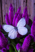 Garry Gay - White Butterfly On...