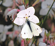 C H Apperson - White Butterfly on Gaura