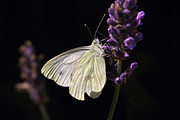 HJBH Photography - White butterfly on lavender against a black background