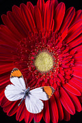 Garry Gay - White butterfly on red...