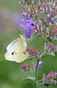 Floral Photographs Photos - White Cabbage Butterfly by Juergen Roth