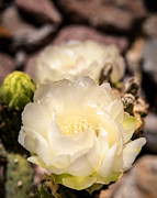 Old Door Prints - White Cactus Rose Print by  Onyonet  Photo Studios