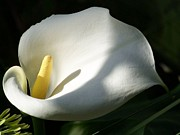 Tracey Harrington-Simpson - White Calla Lilies Over Black Background In Soft Focus