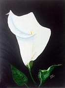 Calla Lilly Drawings Posters - White Calla Lily Poster by Faye Giblin