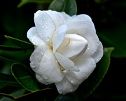 Camellia Japonica Posters - White Camellia Japonica Poster by Double B Photography Carol Bradley