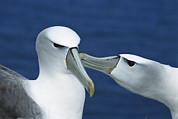 Two Islands Photos - White-capped Albatrosses Courting by Tui De Roy