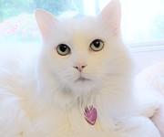 Judy Via-Wolff - White Cat Gazing