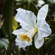 Cattleya Framed Prints - White Cattleya Orchid Framed Print by David Waldo