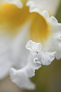 Cattleya Framed Prints - White Cattleya Orchid Detail Framed Print by David Waldo