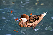 Deborah Benoit - White-cheeked Pintail