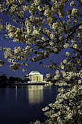 Reflections In River Prints - White cherry blossoms frame the Thomas Jefferson Memorial on the Tidal Basin 12 Print by Mark Serfass