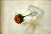 Coneflowers Photos - White Cone Flower by Darren Fisher