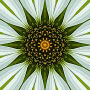 Mandala Photos - White Coneflower Mandala 11 by Carrie Cranwill