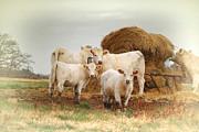 White Cows Print by Bonnie Willis