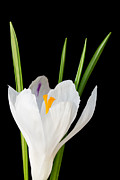 Stephen Cordory - White crocus flower on...