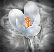 Mikki Cucuzzo Framed Prints - White Crocus Framed Print by Mikki Cucuzzo