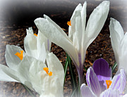 Heidi Manly - White Crocus Reaching Up