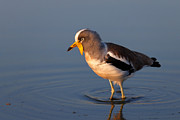 White-crowned Lapwing In Water Print by Johan Swanepoel