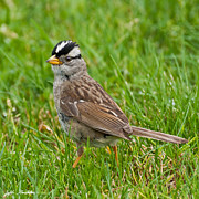 Jeff Goulden - White Crowned Sparrow