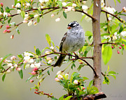 Nava Jo Thompson - White-Crowned Sparrow