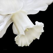 Macro Flower Prints - White Daffodil Flower Macro Print by Jennie Marie Schell