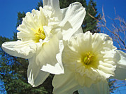 Recent Posters - White Daffodils Flowers art prints Spring Poster by Baslee Troutman Fine Art Photography