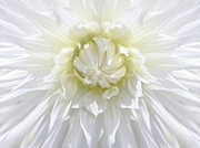 Light Yellow Prints - White Dahlia Floral Delight Print by Jennie Marie Schell