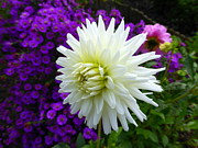 John Tidball  - White Dahlia with Blue...