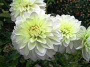 Kitchen Photos Prints - White Dahlias 2 Print by Will Boutin Photos