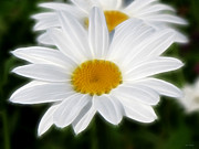 Kathie Mccurdy Prints - White Daisies Print by Kathie McCurdy