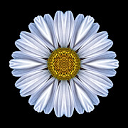 David J Bookbinder - White Daisy Flower...