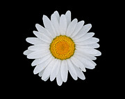 Joseph Duba Metal Prints - White Daisy on Black Metal Print by Joseph Duba